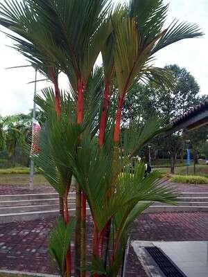 ต้นหมากแดง