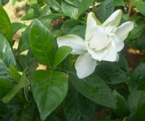 พุดใหญ่ ดอกซ้อนสีขาว มีกลิ่นหอม