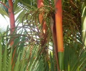 หมากแดง ปลูกเป็นไม้ประดับ ผิวลำต้นเรียบ มีข้อปล้องชัดเจน กาบใบสีแดงสด