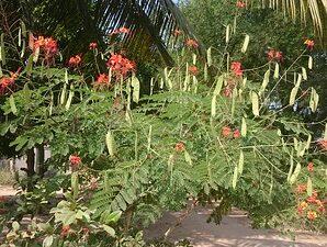 หางนกยูงไทย นิยมปลูกเป็นไม้ดอกไม้ประดับ เมล็ดในฝักดิบกินได้