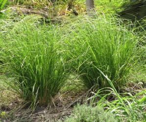 หญ้าแฝก เป็นพืชที่มีอายุหลายปี ขึ้นเป็นกอแน่น