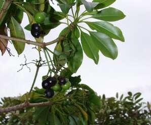 ระย่อมตีนเป็ด ไม้ต้นขนาดเล็กทุกส่วนมียางสีขาว  เปลือกแก้ท้องร่วง