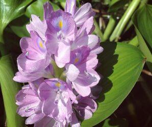 ผักตบชวา ยอดอ่อน ใบอ่อน และดอกอ่อน สามารถนำมาลวกจิ้มกับน้ำพริกรับประทานได้
