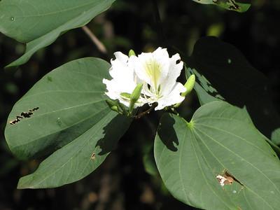 ดอกเสี้ยวขาว
