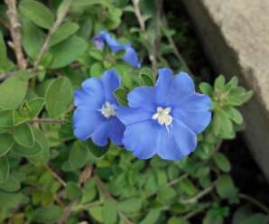 ฟ้าประดิษฐ์ ดอกสีฟ้าอมม่วง ออกดอกตลอดปี นิยมนำมาปลูกเป็นคลุมดิน