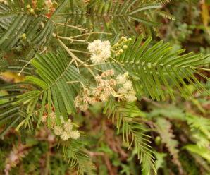 พิมาน, กระถินป่า ไม้ต้นขนาดเล็กถึงขนาดกลาง กิ่งอ่อนมีขนหนาแน่น