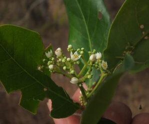 กัดลิ้น ไม้ยืนต้นขนาดเล็ก ดอกออกเป็นช่อที่ปลายกิ่ง