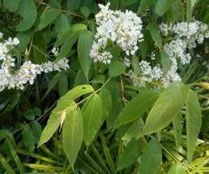 เสลาขาว ไม้ต้นผลัดใบ ดอกสีขาวหรือสีฟ้าอ่อน