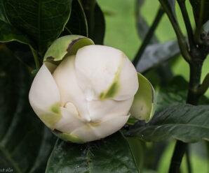 ยี่หุบ เป็นไม้ดอกที่ออกดอกตลอดปีและร่วงเร็ว