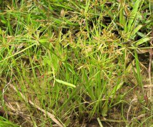 หญ้าฮังกา (เลย) เป็นอาหารสัตว์  ใช้มุงหลังคา ใบใช้ในงานจักสาน