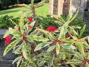 โป๊ยเซียน-โป๊ยเซียนด่าง ไม้ประดับออกดอกตลอดทั้งปี