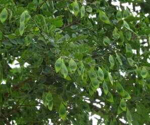 ถ่อน อีเม็ง ขี้มอด ไม้ต้นผลัดใบ เป็นพืชหายาก