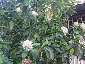 เข็มขาว มีสรรพคุณทางยา ดอกมีกลิ่นหอม