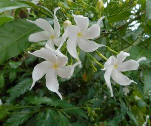 คำมอกสงขลา (สงขลา) พุดป่า (ชลบุรี, เหนือ) รักนา (ภูเก็ต, ใต้) ดอกสีขาว มีกลิ่นหอม ออกดอกทั้งปี
