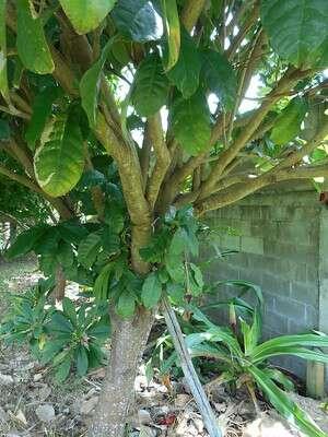 ต้นเกาลัดไทย