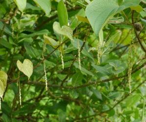 เครืออีลุมปูมเป้า ไม้เถาล้มลุก มีสารด้านเชื้อราที่ก่อโรคพืช