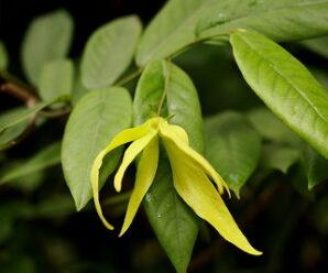 สายหยุด ดอกสีเขียวอมเหลือง  มีกลิ่นหอมแรงโดยเฉพาะตอนเช้า