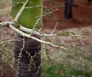 ปาล์มขวด ผลอ่อนทานได้คล้ายยอดมะพร้าว นิยมปลูกเป็นไม้ประดับบริเวณสวนหย่อม