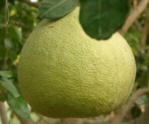 ส้มโอ หรือ ลูกโอ (ภาคใต้)ผลไม้รสเปรี้ยว รสเปรี้ยวอมหวาน หรือรสหวาน