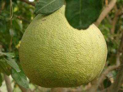 ผลส้มโอ