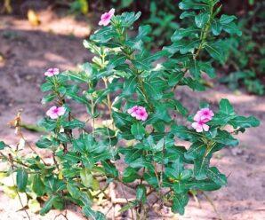แพงพวยบก ดอกสีม่วง ปลูกเป็นไม้ประดับ