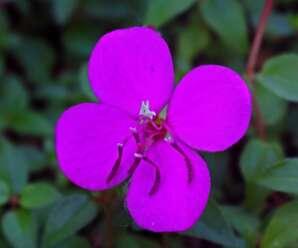 โคลงเคลงเลื้อย ปลูกเป็นไม้คลุมดิน ดอกออกตลอดทั้งปี