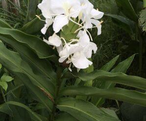 สะเรเต ดอกสีขาวล้วน นิยมปลูกเป็นไม้ประดับ