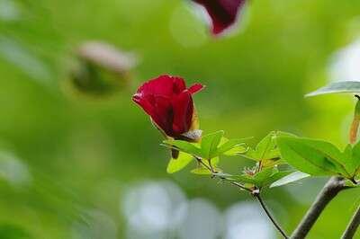 ดอกฝ้ายแดง