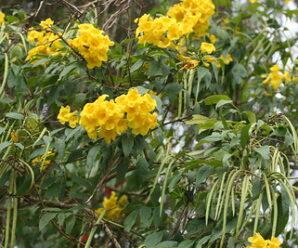 ทองอุไร ดอกสีเหลือง นิยมปลูกเป็นไม้ประดับ ไม้มงคล
