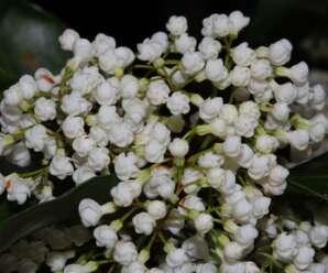 เครือซูด กลีบดอกสีขาว ดอกบานพร้อมกันทั้งช่อ มีกลิ่นหอม