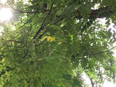 มะกล่ำต้น