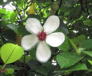 ส้านดอกขาว ดอกมีกลิ่นหอมอ่อน นิยมปลูกประดับ