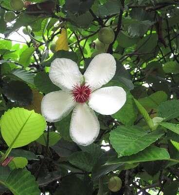 ดอกส้านดอกขาว