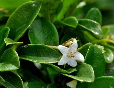 ดอกชาฮกเกี้ยน