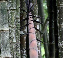 หน่อไม้ไผ่ นิยมนำมาบริโภค และทำเครื่องมือเครื่องใช้