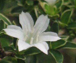 ข้าวตอกพระร่วง ดอกมีกลิ่นหอม เป็นไม้มงคล ปลูกประดับหรือทำเป็นไม้แคระ