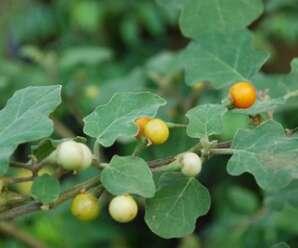 มะแว้งต้น มีรสชาติค่อนข้างขื่นขม รับประทานเป็นผักหรือเครื่องเคียงได้