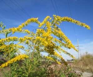 ดอกสร้อยทอง ดอกมีสีเหลืองอ่อนถึงเหลืองเข้ม เป็นไม้ตัดดอกที่นิยมใช้ประกอบกับดอกไม้อื่น เช่น กล้วยไม้