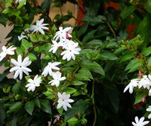 มะลุลี ดอกสีขาว มีกลิ่นหอมตลอดวัน