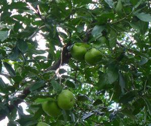 มะเกลือ ไม้ยืนต้นขนาดกลาง ผลกลม เกลี้ยง