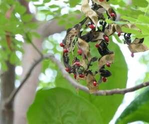 มะก้ำต้น ไม้ต้นขนาดกลาง ราก เมล็ด ใบ มีสรรพคุณทางยา