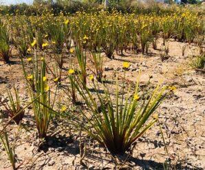 หญ้าขี้กลาก กระถินทุ่ง (ตราด) พืชคลุมดินให้ชุ่มชื้น พบมากในนาข้าวทิ้งร้าง