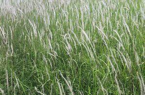 หญ้าคา แฝก คา พืชใบเลี้ยงเดี่ยวล้มลุก มีอายุอยู่ข้ามฤดูและนานหลายปี
