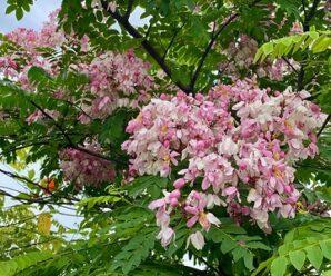 กัลปพฤกษ์ พันธุ์ไม้มงคลพระราชทานประจำจังหวัดขอนแก่นและเป็นดอกไม้ประจำจังหวัดราชบุรี