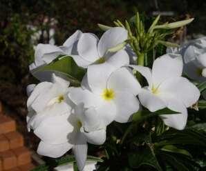ลีลาวดีใบลูกศร นิยมปลูกเป็นไม้ประดับ ดอกสีขาวใช้บูชาพระ