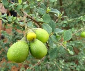 ต้นทองแมว ไม้พุ่มหรือไม้ยืนต้นขนาดเล็ก มีหนามแหลม ดอกสีเหลือง