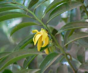 กระดังงา  กระดังงาจีน  การเวก ดอกมีสีเหลืองและมีกลิ่นหอม