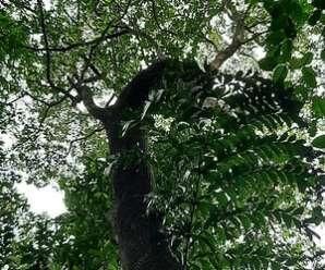 พีพ่าย ไม้เป็นเชื้อเพลิงทำฟืน ลำต้นต้มน้ำดื่มแก้ผิดสำแดง