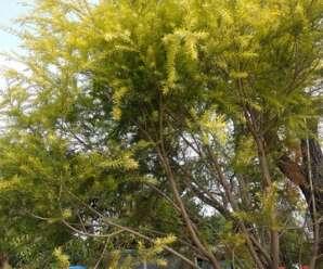 ต้นหลิวทอง ไม้ประดับเสริมมงคล ปลูกเพื่อให้ร่มเงา หรือประดับสวน