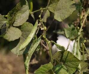 ถั่วแปบ หรือ มะแปบ ฝักอ่อน เมล็ด ใช้ประกอบอาหาร และปลูกเพื่อบำรุงรักษาดิน